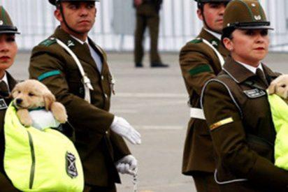 Los 'carabineros' más tiernos: Cachorros protagonizan una marcha militar