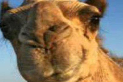 Camello fuera de control la lía en un circo en EE.UU.