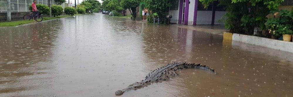 Cocodrilos en las calles de México tras desbordar un río