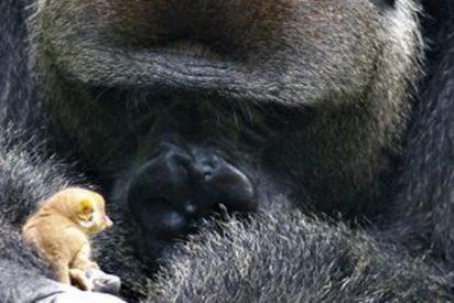 Este gorila dominante se encuentra con una pequeña criatura en el bosque y su reacción no tiene precio