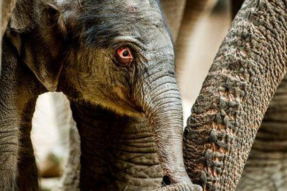 Imprudente se mete en el recinto de los elefantes en un zoo y pasa esto…