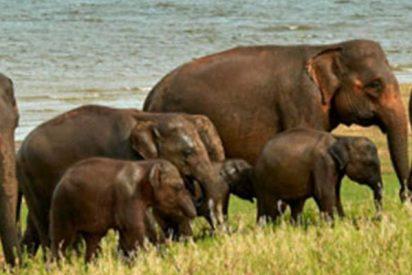 Elefantes se reúnen en torno a su líder muerto para darle este emotivo último adiós
