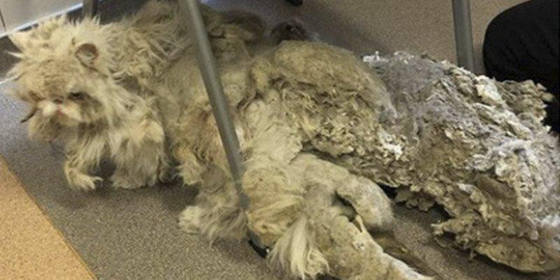 Encuentran a este gato en un sótano con 2 kg de pelo
