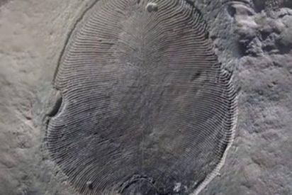 Esta grasa de 558 millones de años confirma a Dickinsonia como primer animal