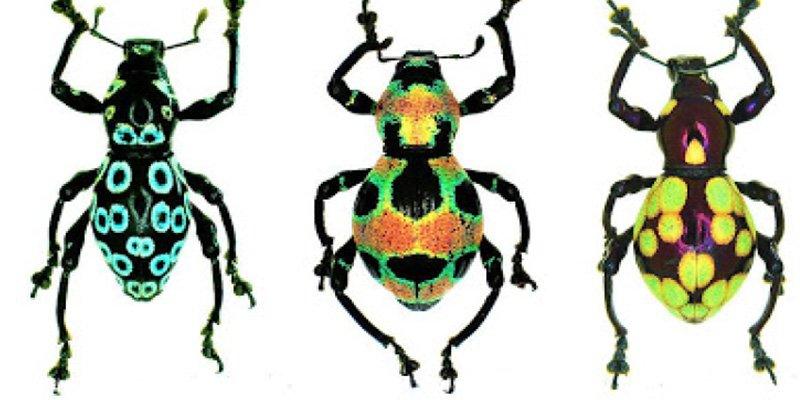 Este insecto inspira un nuevo mecanismo para la generación de color