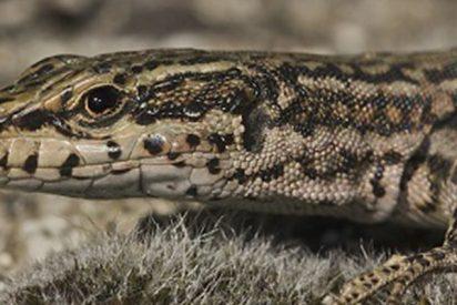 Demuestran con lagartijas un proceso evolutivo teorizado hace un siglo