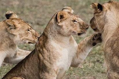 Estas leonas atacan brutalmente a un macho alfa en un parque safari británico