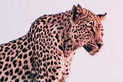 Este leopardo chulito quería abusar de un perro callejero y le pasó esto…
