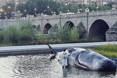 ¿Nos hemos vuelto locos o efectivamente ha aparecido una ballena varada en el Manzanares?