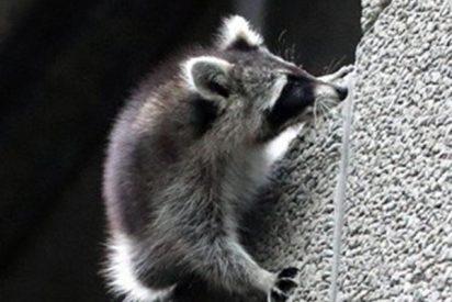 Este mapache se lanza desde un noveno piso y sobrevive