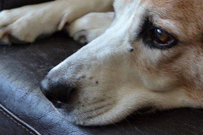 Mascotas: Un veterinario explica así lo que sienten los perros justo antes de morir