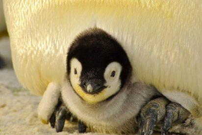 La pareja gay de pingüinos que secuestra en un zoo a una cría abandonada