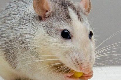 ¡A la caza de la rata! Empleados de un McDonald's persiguen con fregonas a un roedor