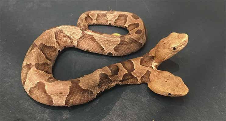¡A CORRER! La asombrosa serpiente de dos cabezas con la que se tropezó un hombre en su jardín (Vídeo)