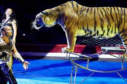 Esta tigresa sufre un ataque de convulsiones en pleno espectáculo de circo