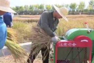 China cosecha con éxito arroz de agua salada que podría alimentar a 80 millones de personas