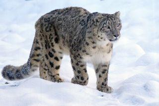 La caza 'vertical' de un leopardo de las nieves más impresionante jamás grabada