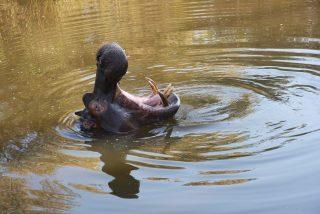 El pequeño hipopótamo deja claro a los búfalos quién es el dueño de la charca