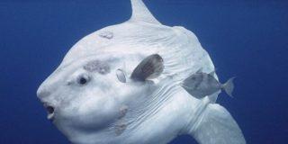 Este pez luna gigante posa para un 'selfie' con los buceadores
