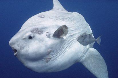 Mascotas: El pez luna posa para un 'selfie'