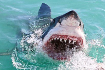El tiburón grande se come al chico frente a espeluznados buzos