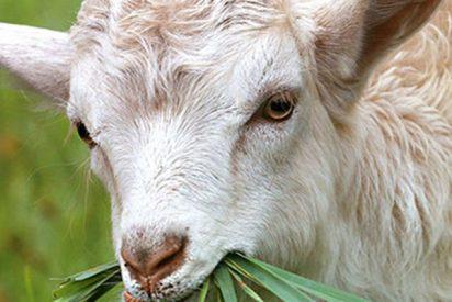 Misterio: Encuentran al menos 10 cabras decapitadas en un río de EE.UU.