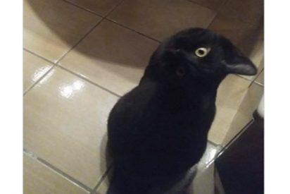 Esta imagen viral de un falso 'cuervo' engaña al ojo de los internautas e incluso a Google