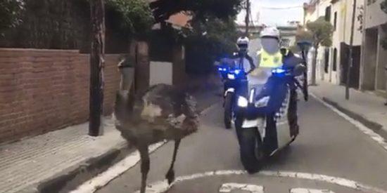 Este emú que corre por Sant Cugat del Vallèsy muere acorralado por la Policía