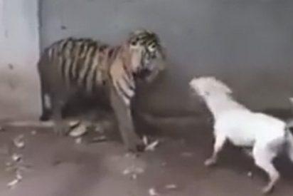 Vídeo Viral: Este perro se pone chulo con un tigre atado y acaba de merienda