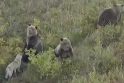 Este perro juega con una familia de osos