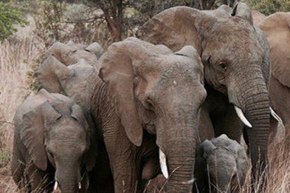 Disparan a un elefante y su manada se venga lanzándose contra ellos