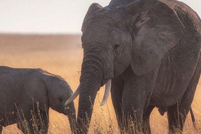 Un pequeño elefante recibe este 'regalo' inesperado de su madre