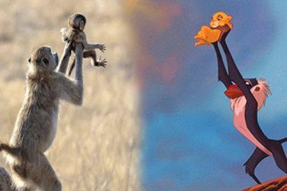 Este mono recrea a la perfección la icónica escena de 'El Rey León'