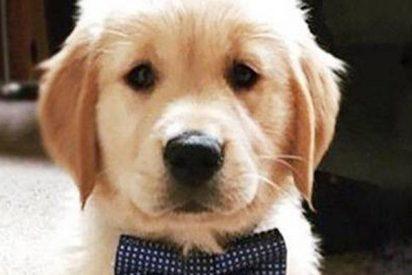 ¿Sabes por qué los golden retriever son los mejores perros del mundo?