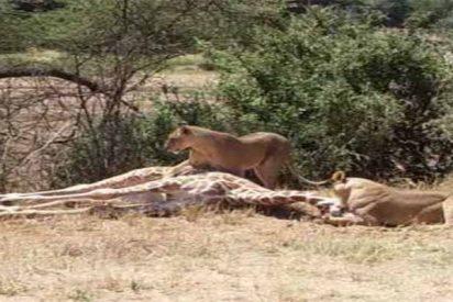El impactante vídeo que muestra cómo un león caza a una jirafa recién nacida