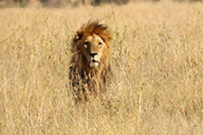 Este león 'escalador' se sube a un árbol para robarle el almuerzo a un leopardo