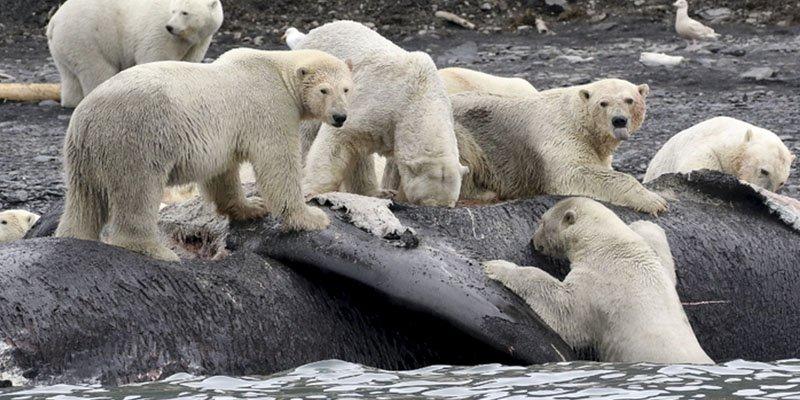 """Una imágen insólita: """"Más de 180 osos comiendo una ballena"""""""