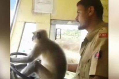 Este mono 'conduce' un autobús con pasajeros en la India