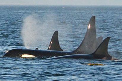 Una americana llama a emergencias tras un encuentro cercano con unas ballenas jorobadas