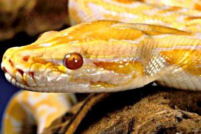 La serpiente pitón se mete de madrugada en la cama de la chica