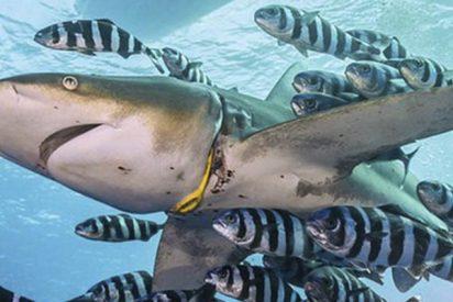 Un simple 'collar' plástico hiere profundamente a un tiburón
