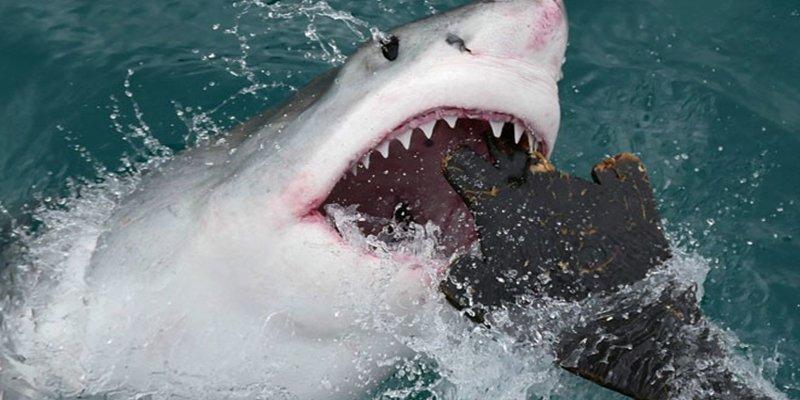 Este tiburón de 6 metros devora una ballena muerta delante de un barco lleno de gente