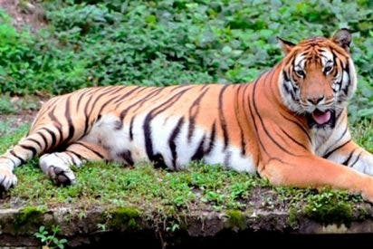¡China autoriza el uso medicinal de cuernos de rinoceronte y huesos de tigre!