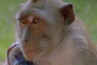 Este mono le roba así la cobra a un encantador de serpientes en la India