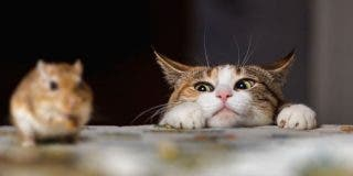 'Super Ratón': el roedor ataca y persigue con saña al desventurado gato que pretendía darle caza