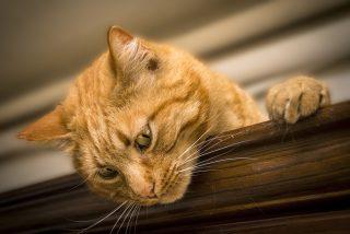 El gato que sabe 'hablar' y maldice a sus dueños con la ayuda de las nuevas tecnologías