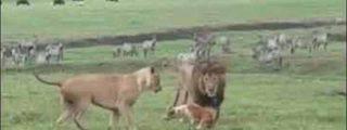 Pequeño pero matón: el perro valiente se enfrenta a dos feroces leones