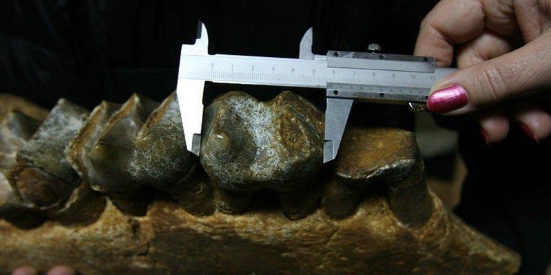 Este antiguo ancestro del ser humano tenía el tamaño de un elefante