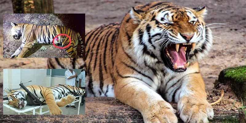 La tigresa asesina se había merendado a 13 cuando la mataron y ahora enfrentan la furia de los proteccionistas