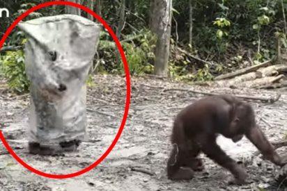 ¡El disfraz más mono del mundo!: Este orangután te va a alegrar el día